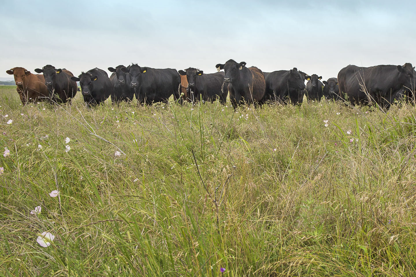 Cattle-homepage1440.jpg
